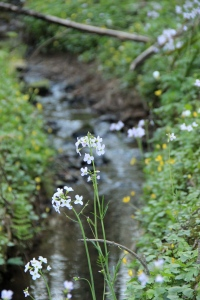 Cardamine pratensis growing stream-side with Ranunculus ficaria