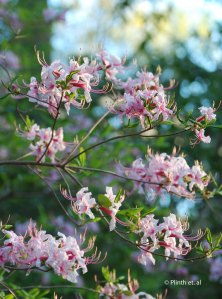 Rhododendron_periclymenoides
