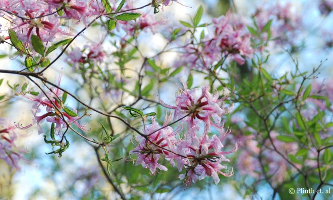 Rhododendron_periclymenoides_against_the_sky