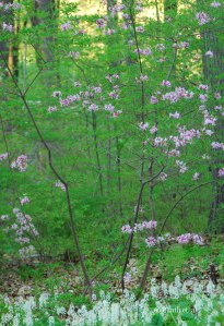 Rhododendron_periclymenoides_in_landscape