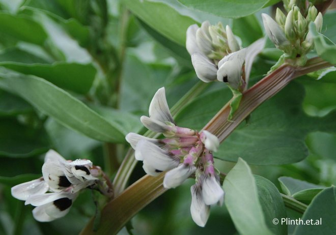 Broad Bean Flowers