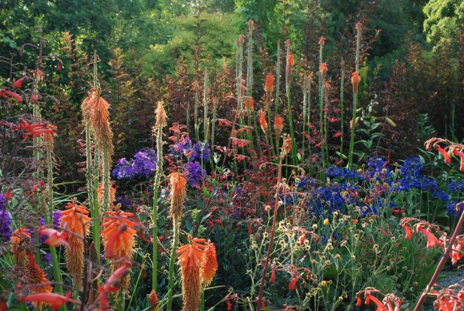Phygelius 'Passionate' with Agapanthus, Kniphofia, Phlox paniculata 'Blue Paradise' against Physocarpus opulifolius [Diabolo] = 'Monlo' at the Bellevue Botanical Garden's NPA Border