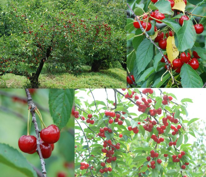 Sour_Cherries_Collage2