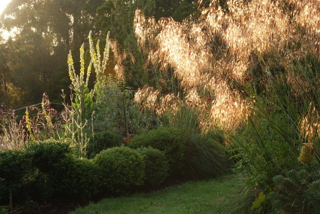 Morning light illuminates the verbascums and Stipa gigantea (Private Garden, Tasmania, Australia)