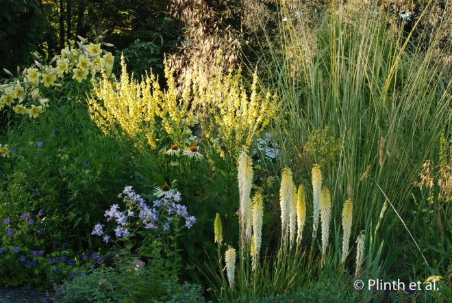 Kniphofia 'Little Maid' plays off the colors of the Verbascum, Stipa gigantea, and Lilium 'Concha d'Or'