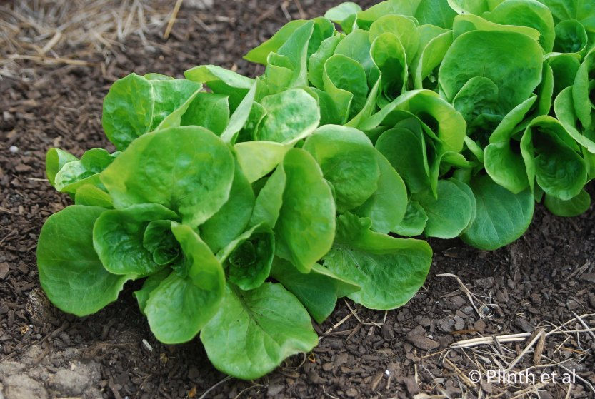 Butterhead lettuces are beginning to develop large leaves for picking.