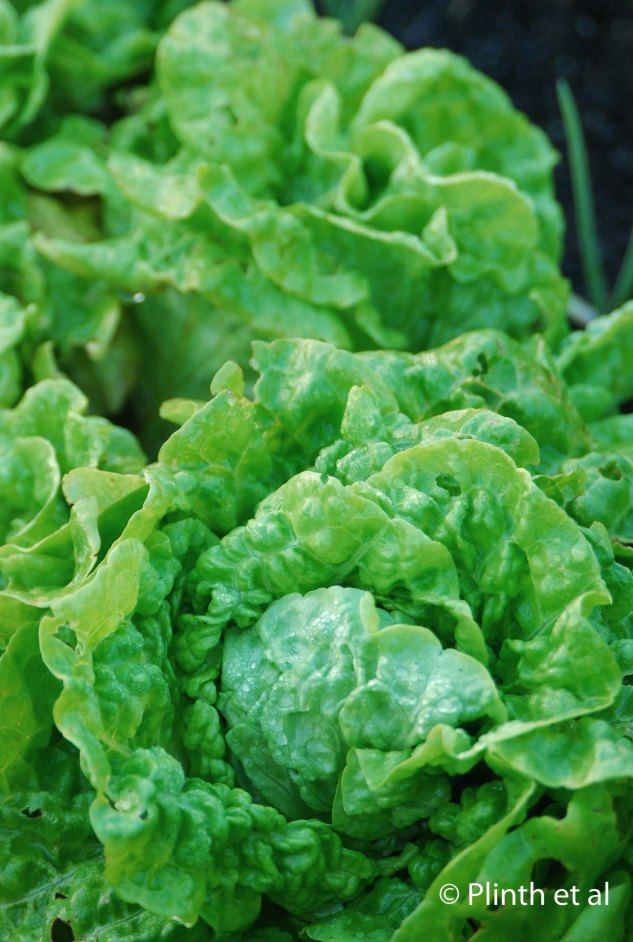 'Merveille de Quatre Saisons' lettuce (the red coloring seems to disappear during the high UV summer light of Tasmania)