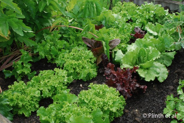 Assorted lettuces await harvesting for salads and sandwiches.