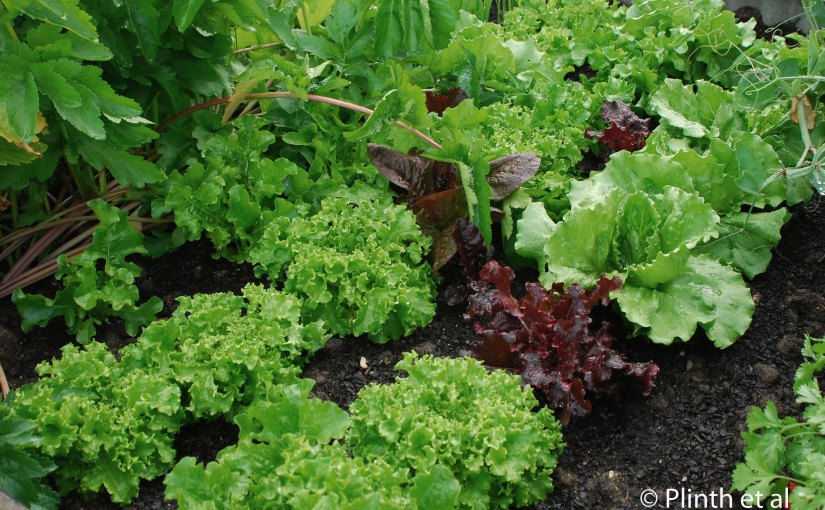 Leafy Greens for Fall Harvest