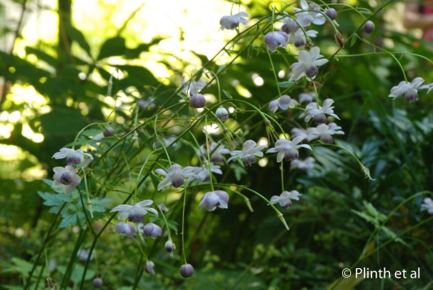The lotus-like flowers of Anemonopsis macrophylla, a Japanese woodlander, grace the shade garden at Free Spirit.
