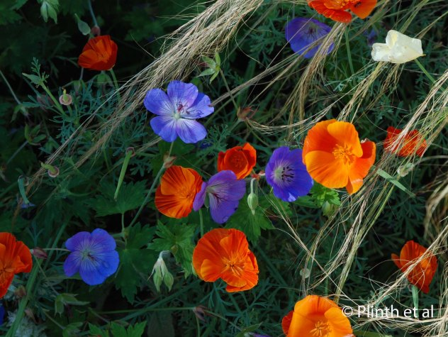 Jewel tones of Geranium [Rozanne] = 'Gerwat' and Eschscholzia californica 'Jelly Beans' with Nassella tenuissima