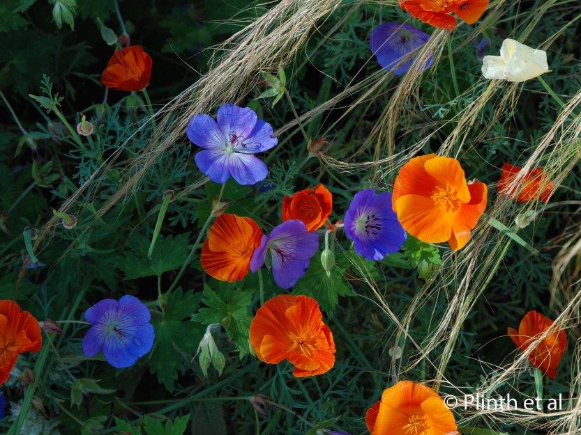 Jewel tones of Geranium [Rozanne] = 'Gerwat' and Eschscholzia californica 'Jelly Beans' with Nassella tenuissima
