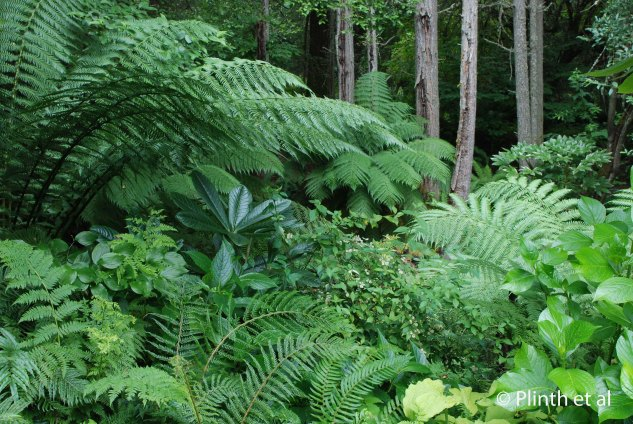 Tree ferns, hydrangeas, and broad-leafed evergreens hint slightly at the Stumpery ahead of us. The Riehls protect the tree ferns (Dicksonia antarctica) during winter by slipping laminated paper cases over them. And the effect is well worth it.