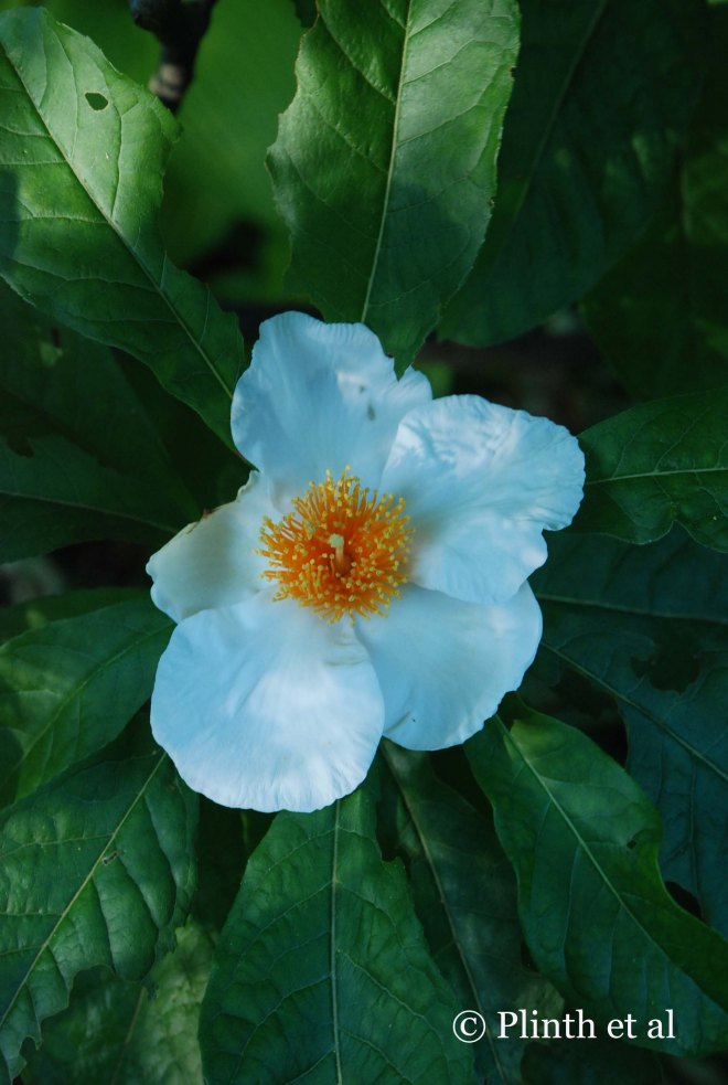 Not all the autumnal fame belongs to leaves in trees - the extinct Franklinia alatamaha still offers its camellia-like blossoms late in the year.