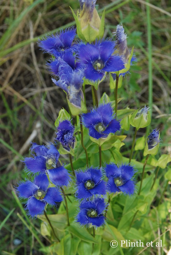 Particular about its habitat preferences, the fringed gentian (Gentianopsis crinita) is a true blue, a catchy color amidst the yellows and reds of the landscape.