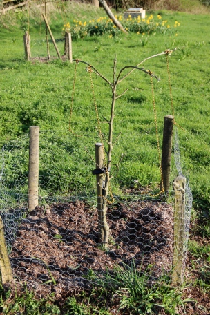 young sapling trained