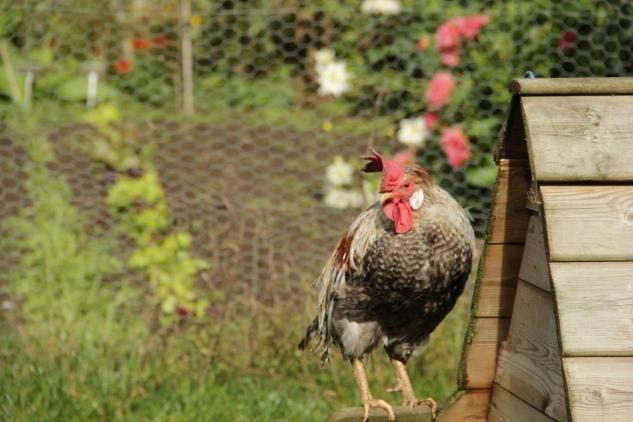 Gravetye chickens