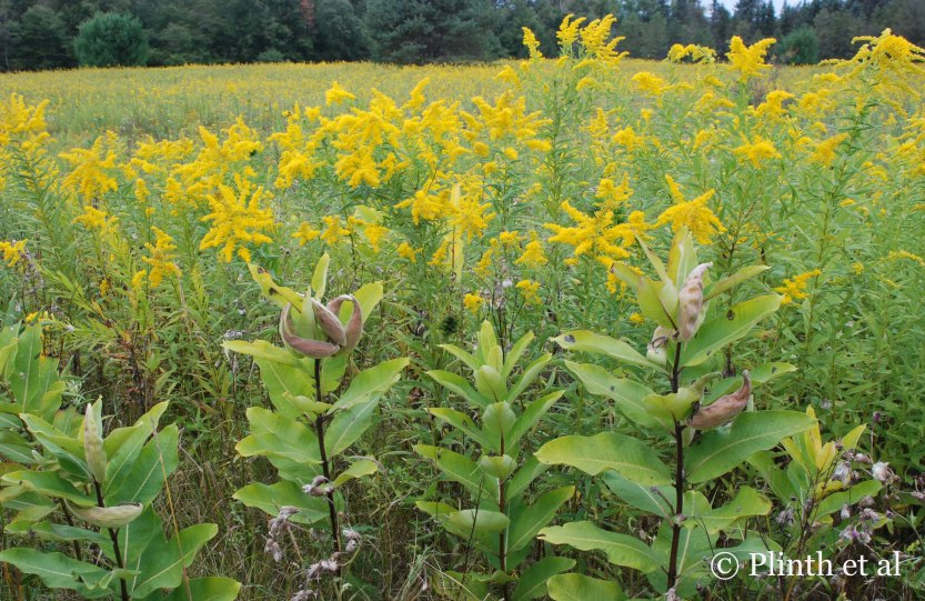 Milkweeds (Ascelpias syriaca) and goldenrods (Solidago) signal the start of autumn in a roadside meadow.