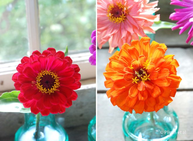 Zinnia 'Meteor' (left); Zinnia 'Orange King' (right)