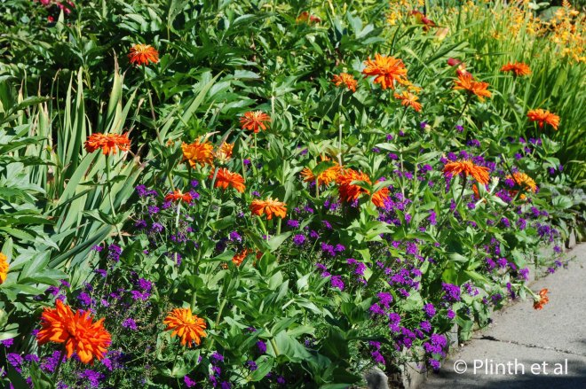 Orange zinnias burst from dark purple Verbena tenuisecta in this bedding planting.