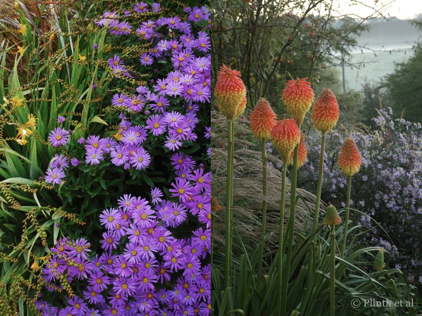 Left: Aster 'Violet Queen' has taken the show from Crocosmia 'Walberton Yellow'; Right: The late flowering Kniphofia rooperi rises above asters and Miscanthus sinensis 'Yakushima'.