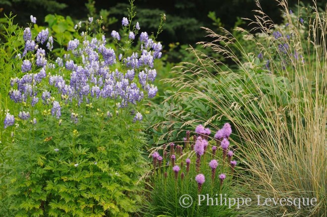 Aconitum x cammarum 'Bicolor', Liatris spicata 'Kobold', and Helichtoctrichon sempervirens at the nursery