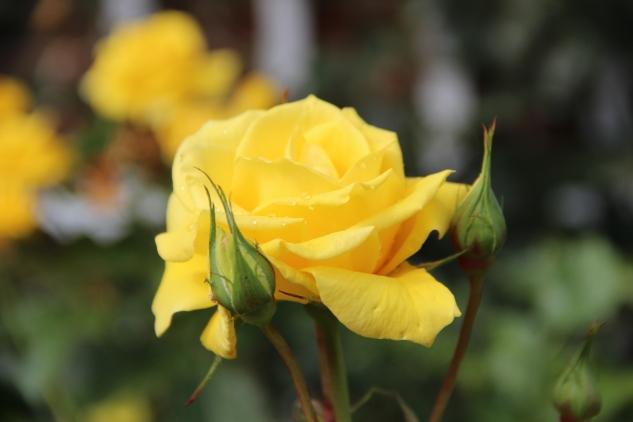 Rosa 'Korisa'