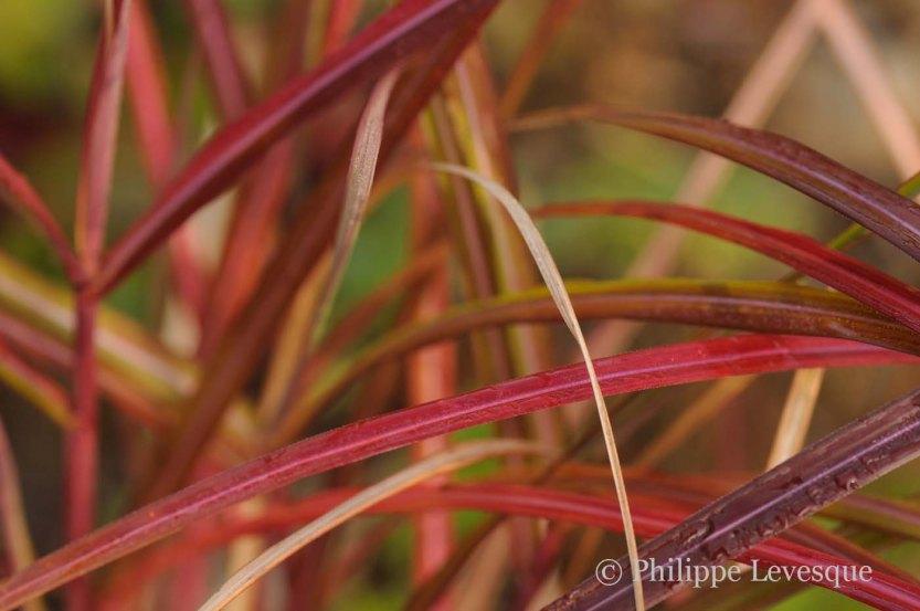 Miscanthus sinensis 'November Sunset'