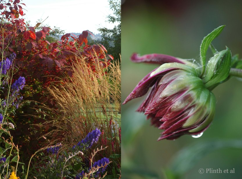 Left: The tawny plumes of Calamagrostis x acutiflora 'Karl Foerster' mediates the scarlets of Euonymous planipes and the violets of Aconitum carmichaelii 'Arendsii'; Right: A dahlia bud in the Parterre