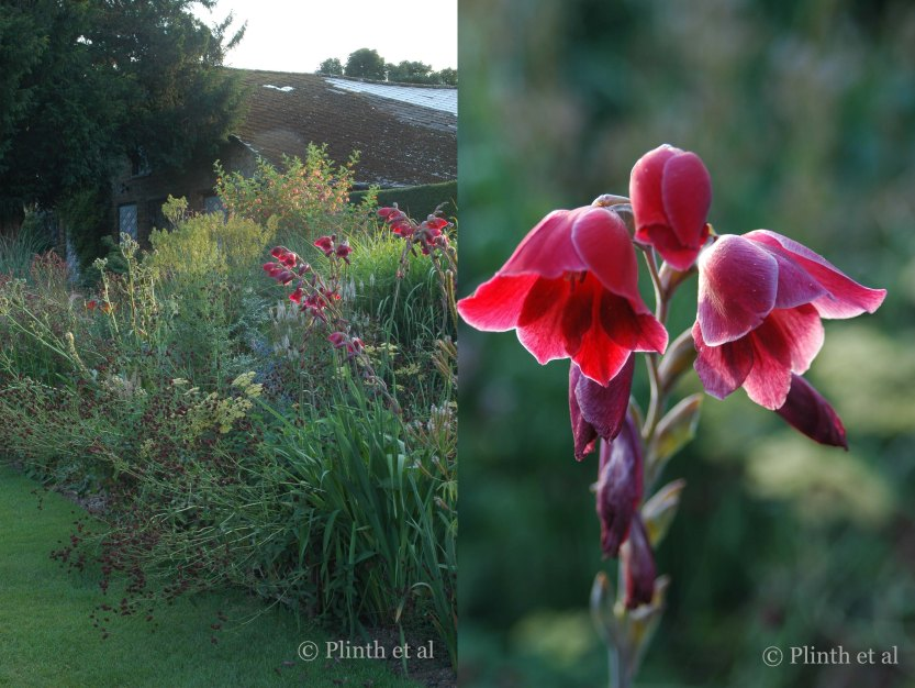 Left: The borders never lose their momentum until winter - here midsummer brings Colutea x media, eryngiums, Gladiolus 'Ruby', Sanguisorba officinalis, and thalictrums;  Right: Gladiolus 'Ruby', a G. papilio hybrid