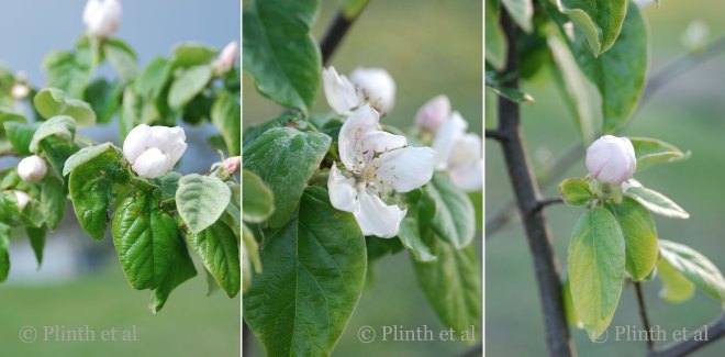 Quince_Collage_1