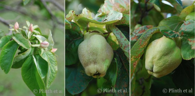 Quince_Collage_4