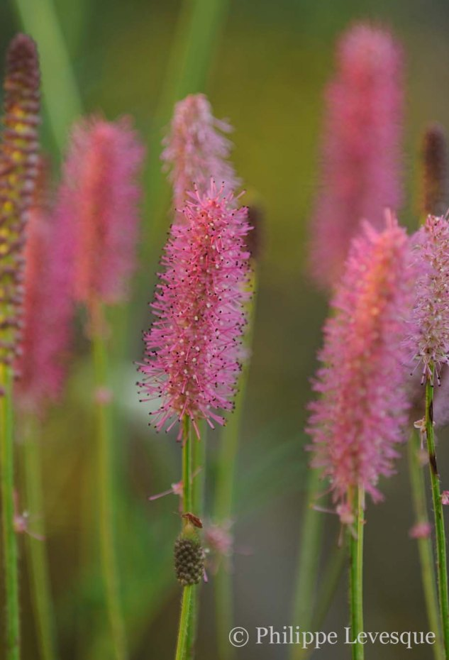 Sanguisorba 'Blackthorn'