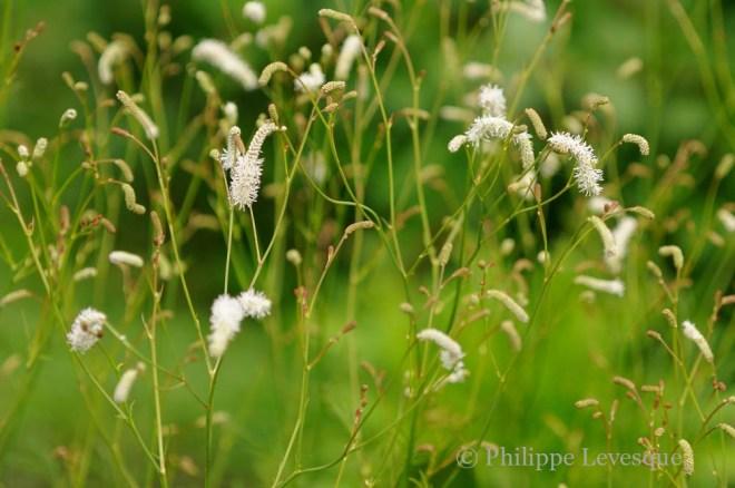 Sanguisorba tenuifolia 'Stand up Comedian'