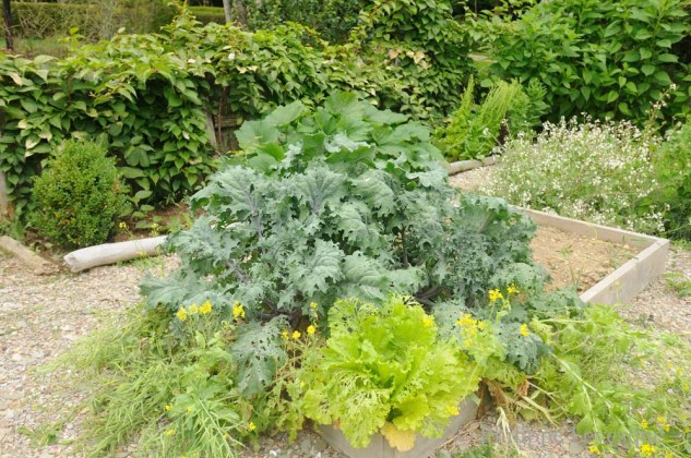 Brassicas and squash vines fill the raised beds in the vegetable garden.