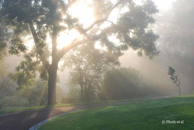 The light breaks through the mist behind the black walnut tree at Chanticleer.