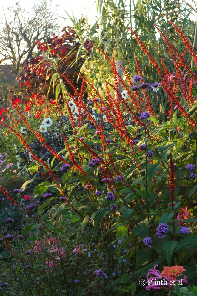 Salvia confertiflora pulses brilliantly in the low evening light at Great Dixter.