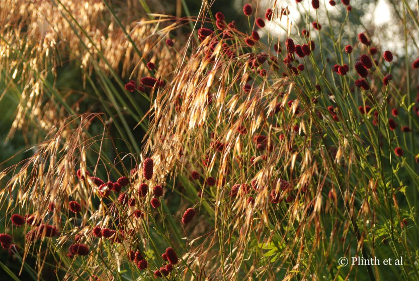 The garnet orbs of Sanguisorba officinalis spangle the metallic oat-like flowers of Stipa gigantea (private garden, Australia).