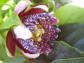 Pasiflora flower