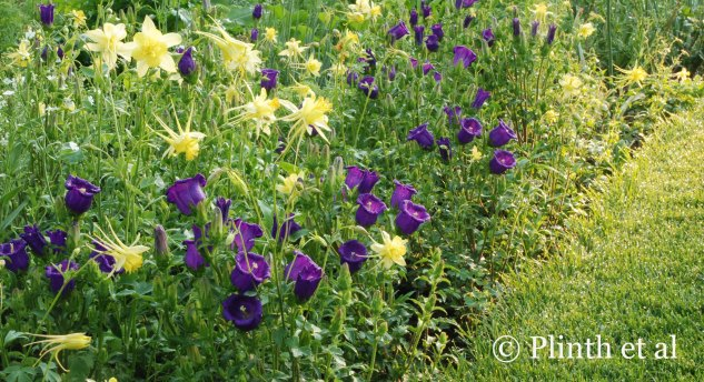 Aquilegia chrysantha 'Denver Gold' and the rich regal purples of Campanula medium (Canterbury bells) glitter like jewelry in the Cut  Flower Garden at Chanticleer.