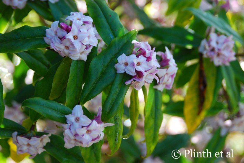 Winter Flowers: Daphne