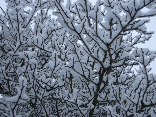 snow laden branches, Great Dixter