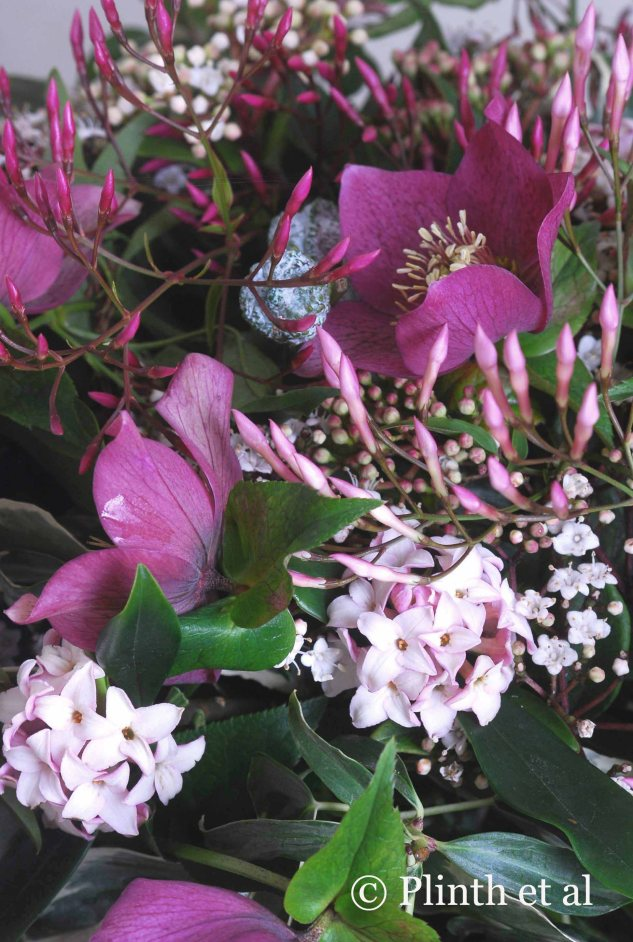 The unopened buds of Jasminum polyanthum are a rich red violet, the same hue as Helleborus x hybridus, fading to pale pink, picked up by Daphne odora and Viburnum tinus. The variegated leaves of Hedera rhombea 'Creme de Menthe' breaks up the solid greens of the arrangement - 'the cream' that floats to the surface.
