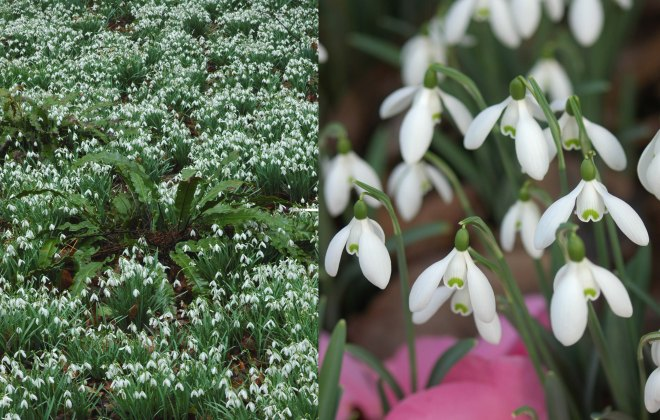 Left: Asplenium scolopendrium (hart fern) and snowdrops at Painswick Rocco Garden; Right: Fallen camellia petals highlight snowdrops.