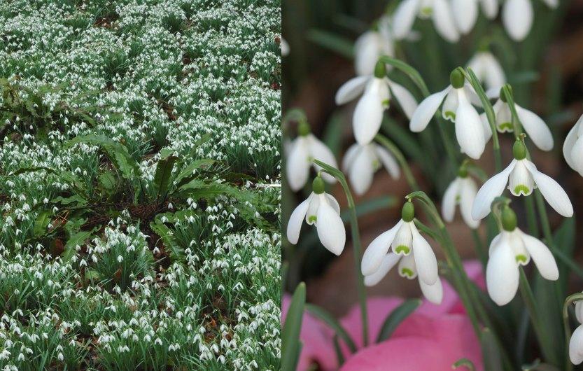 Left: Asplenium scolopendrium (hart fern) and snowdrops at Painswick Rocco Garden; Right: Fallen camellia petals highlight snowdrops.