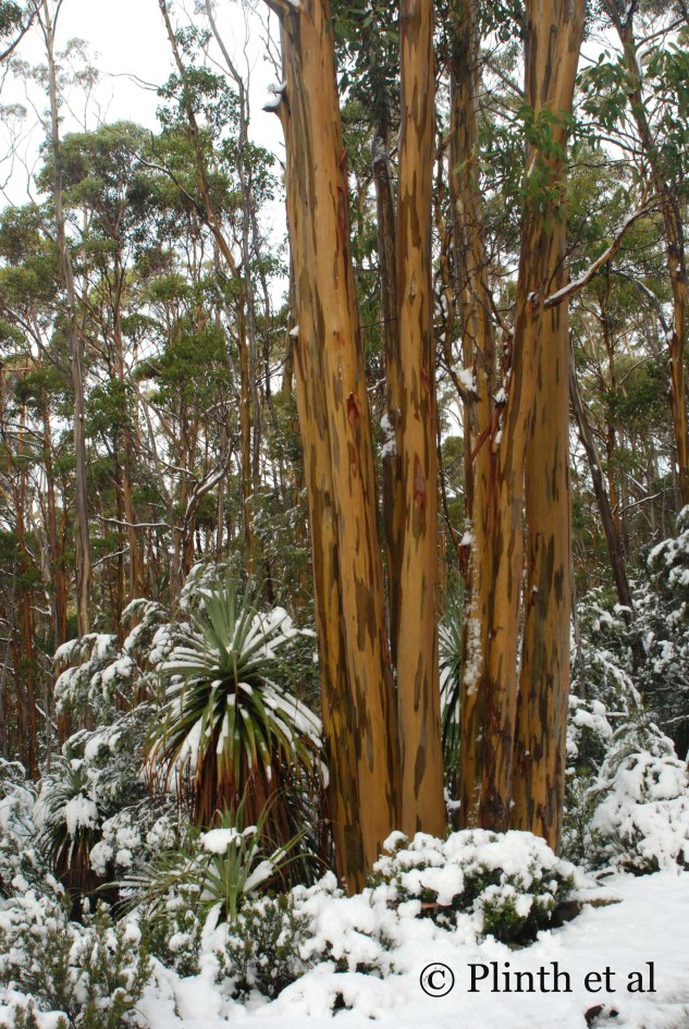 Eucalyptus subcrenulata (alpine yellow gum) inhabits the subalpine regions of Tasmania where snow and frost can be frequent during winter. The mottled bark is striking, seizing the show from the Richea pandanifolia.