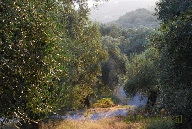Olive grove in Corfu, Greece
