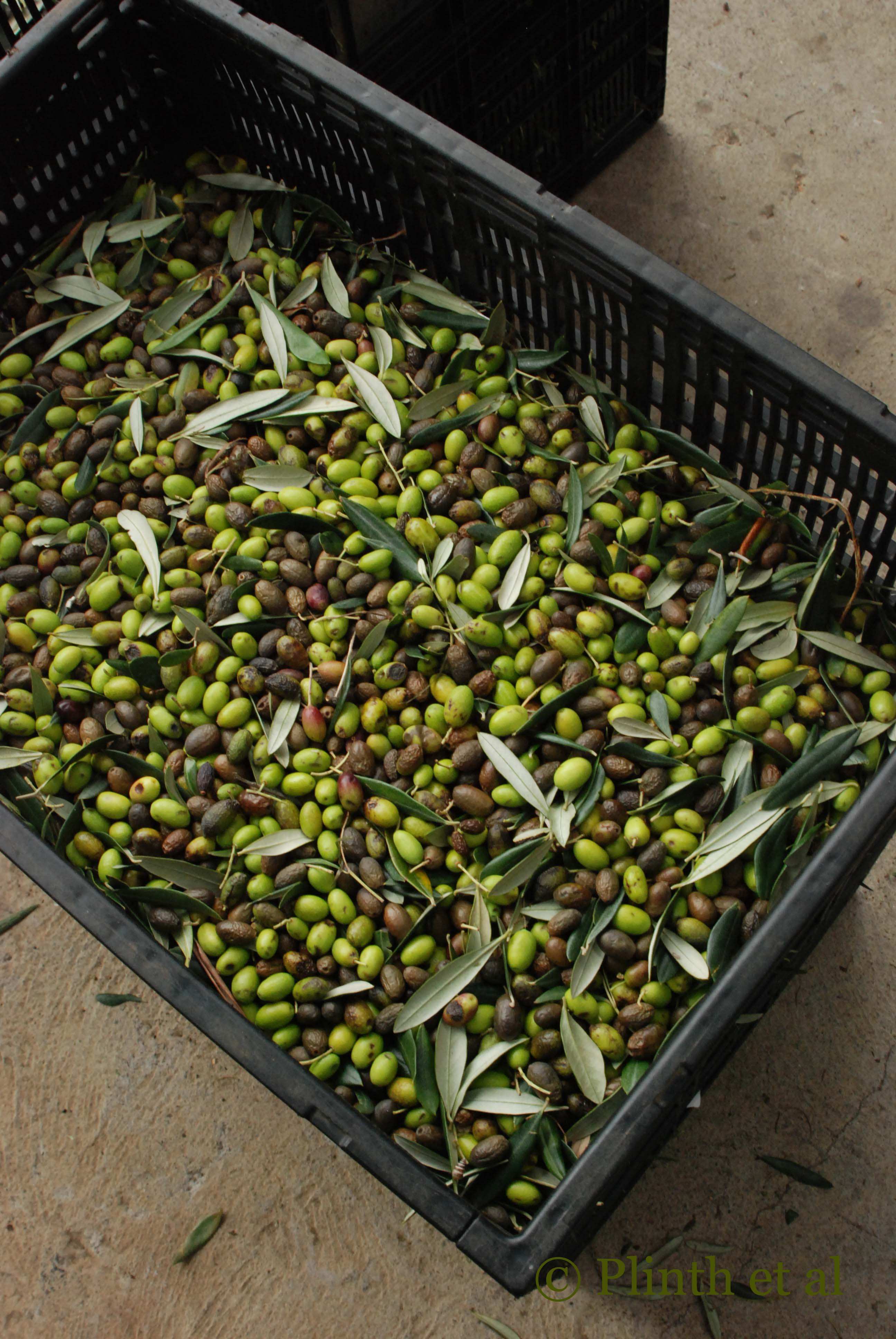 Olive Harvest and Oil in Tasmania – Plinth et al.