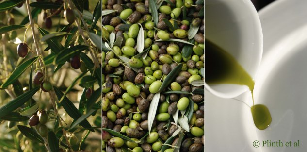 Left to right: Olives ripening on tree; Olive harvest; Olive oil - a vibrant green and rich in antioxidants and phenols