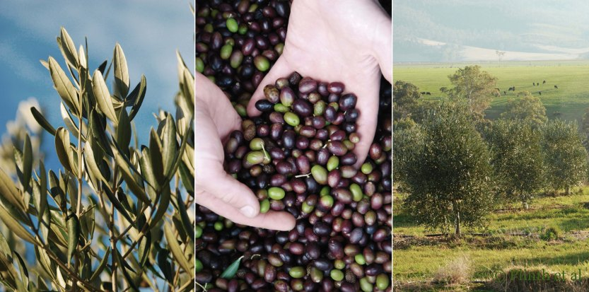 Left to right: Silvery sheen of olive leaves; Olives ready for harvesting; Olive Grove at Ashbolt Farm